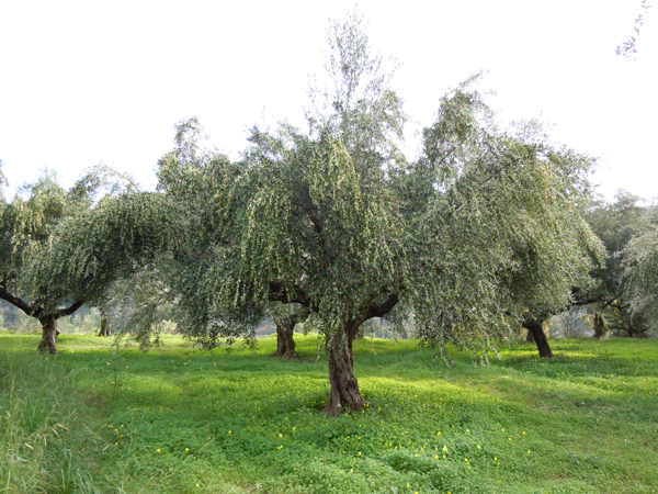 Dionysus olive oil